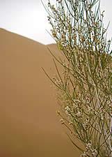 Необыкновенно сильный запах этих пустынных растений можно почувствовать за несколько десятков метров